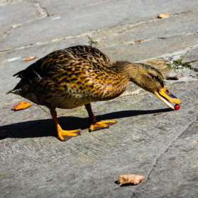Kačka na promenade