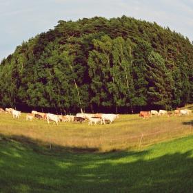Stádo krav pod lupou