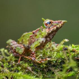 Pinocchio Frog | Ekvádor