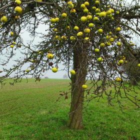 Úroda zůstala ma stromě