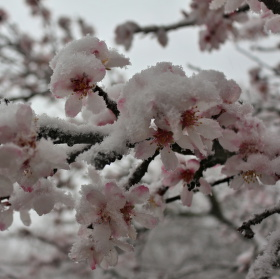 Růžový sníh
