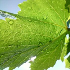 Vinohrad po dešti