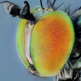 Lupice (Neurigona quadrifasciata)