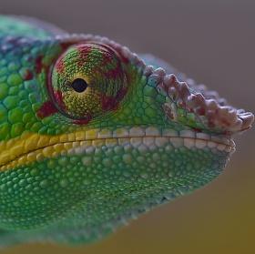 Furcifer pardalis - Ambilobe