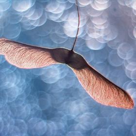 Andílek javorový
