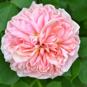 Růže....