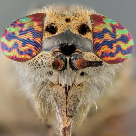 Ovád (Haematopota pseudolusitanica)