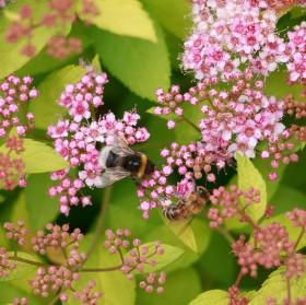 Čmelák a včela