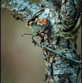 Kneznice ... Pentatomidae