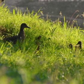 Kachní rodinka po ránu