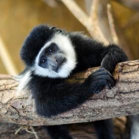 Opičí odpočinek