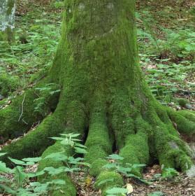 Strom - chobotnice