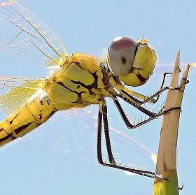 Španělská Vážka