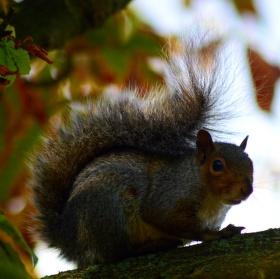 Ms squirrel