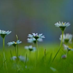 ještě kvetou