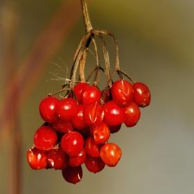 Bez červený hroznatý