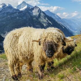 Swiss ovečky