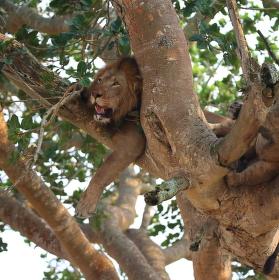 Stromoví lvi