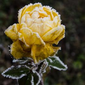 Zimní růže