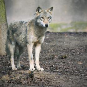 vlk (mladá vlčice)