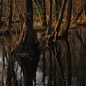 Mangrovový prales