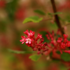 Jarní červená
