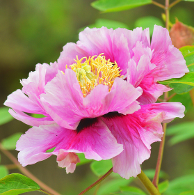 Jarní kráska