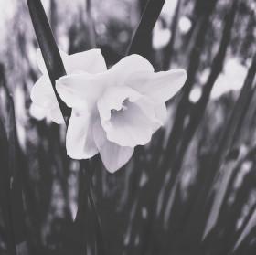 Narciska v černobílém