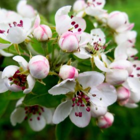 květ jabloně