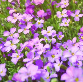 Lady Purple Flower