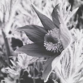 Černobílá kytka