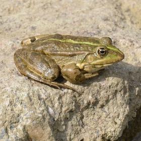 Sedí žába na kameni...