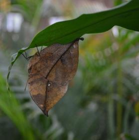 Listový motýl