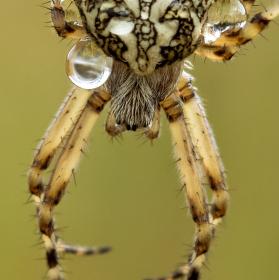 Křižák skvostný - Aculepeira ceropegia
