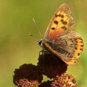 Odpolední motýlek