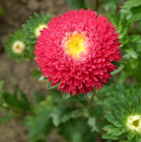 Květ Astry