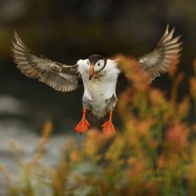 obrázky z islandské přírody 17 aneb ... přistávání papouška severu