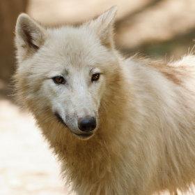 ... vlk arktický, zoo brno