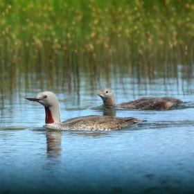obrázky z islandské přírody 35 aneb ... rudooká kráska s potomkem