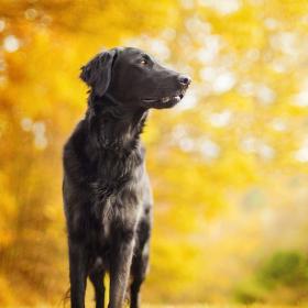 Zlatý pes