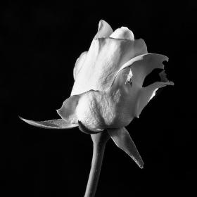 Bílá růže na černém pozadí