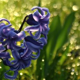 Hyacint v ranní rose.