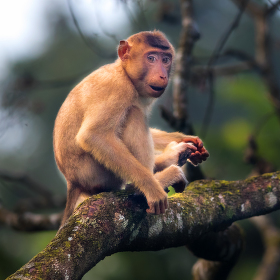 BORNEO | Mladý makak v korunách stromů...