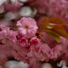 Sakura v plné kráse :-)