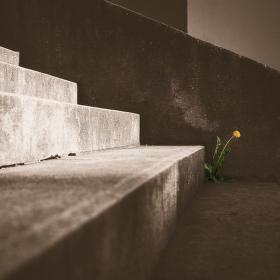 Osamělá pampeliška