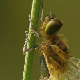 Vážka rudá po vylíhnutí