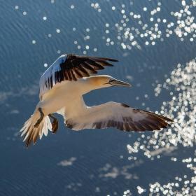 Terej bílý, elegantní letec
