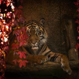 Pohled tygra