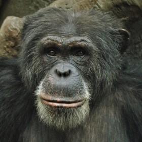 šimpanz zoo Ostrava