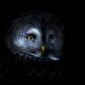 Owl in black